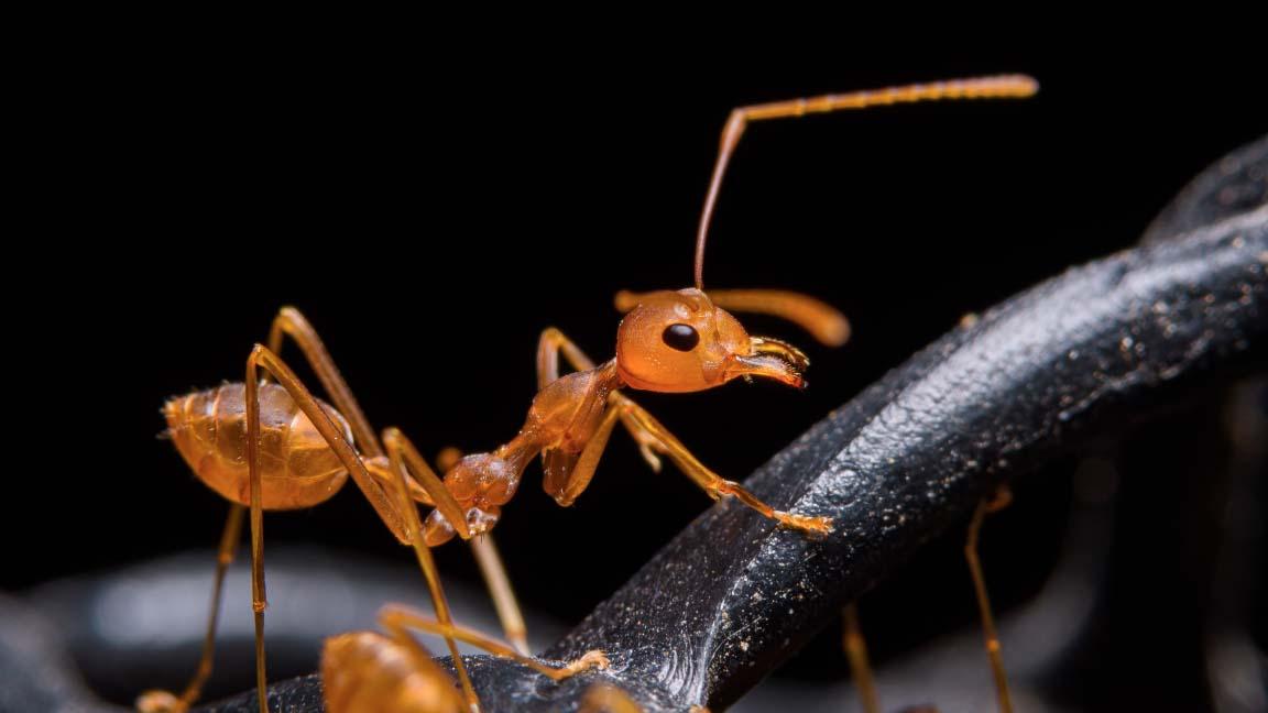 andorinha dica espante formiga