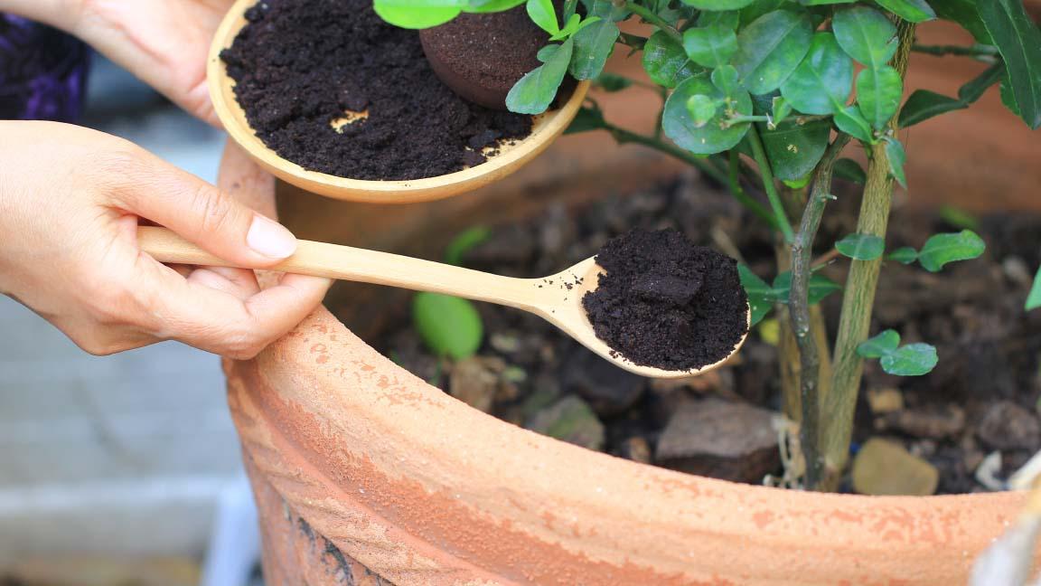 andorinha dica fertilizante borra cafe